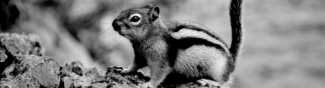 Find a solution to your chipmunk control problem.