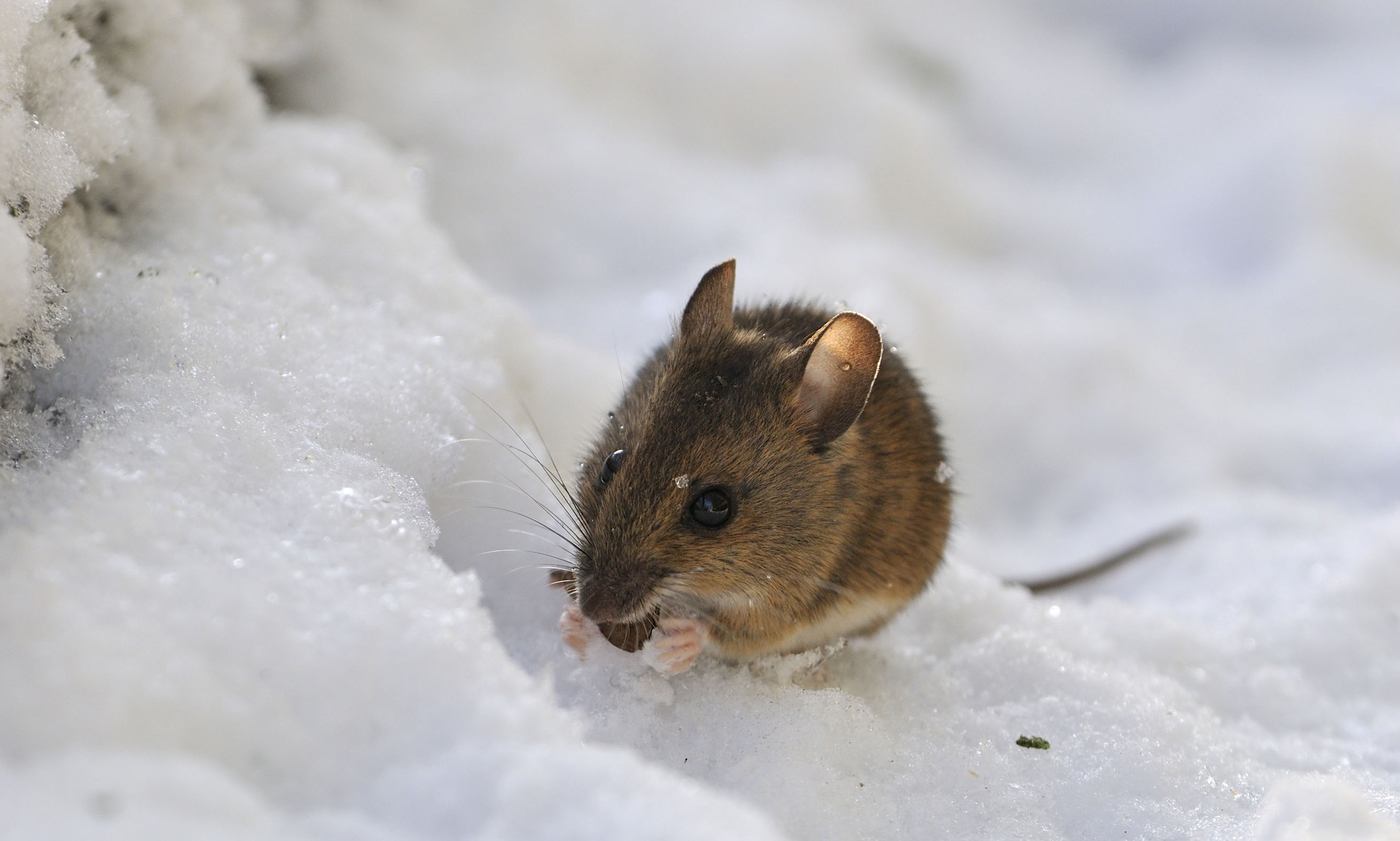 Winter pest tips — mouse in snow