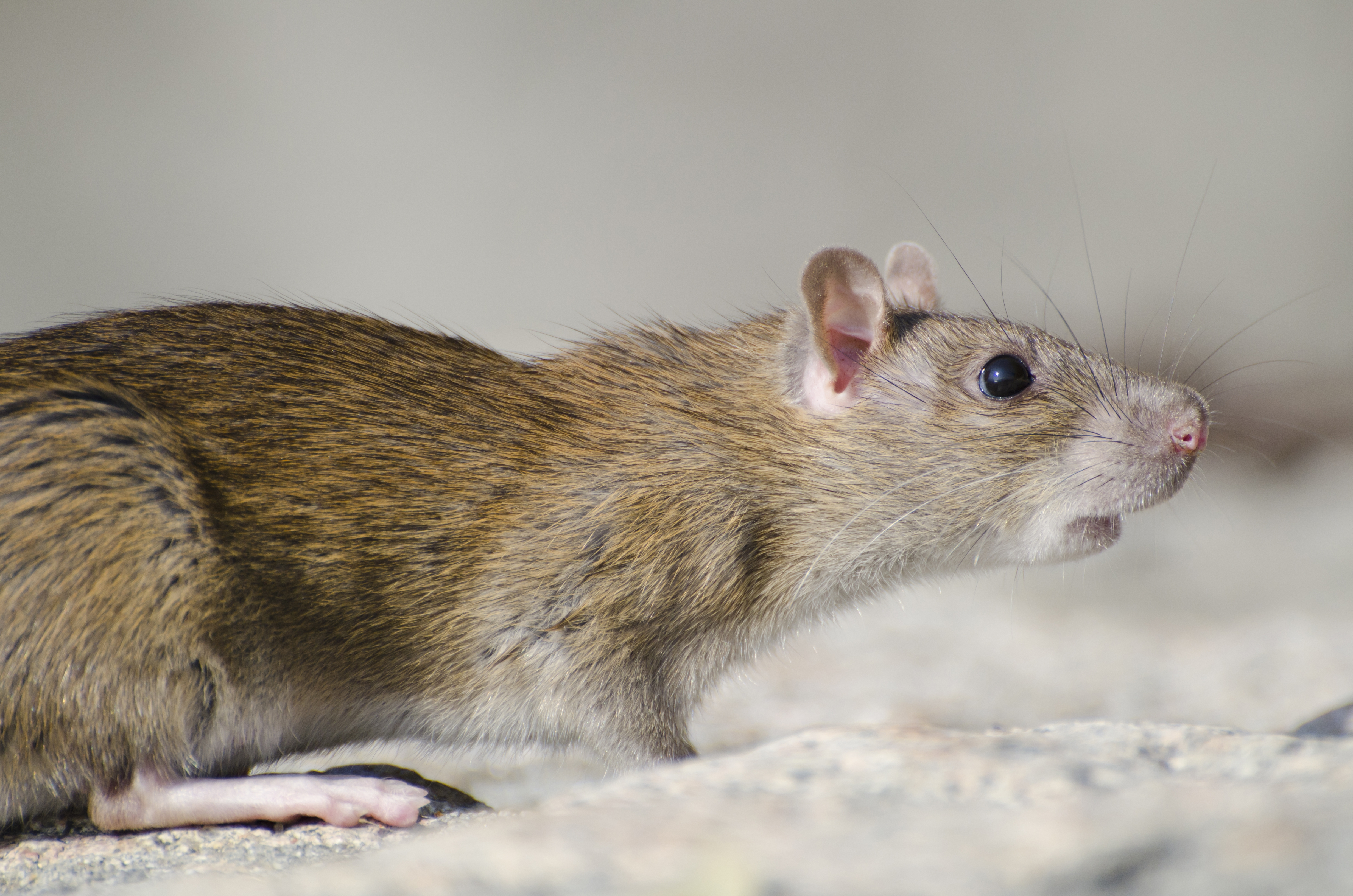 Find a solution to your rat control problem.